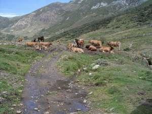 Vacas en la braña de Sosas, en el Valle de Laciana, descansando bajo el sol.